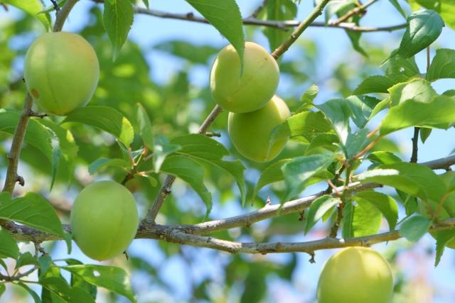 梅の木に梅の実が実る写真